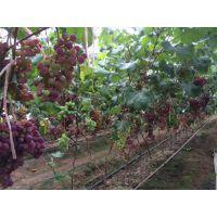 阳光玫瑰葡萄苗多少钱一颗 品种特点果粒大挂果长不裂果