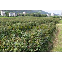 大果红花油茶嫁接苗原产地批发 可快递可实地购买 量大价优