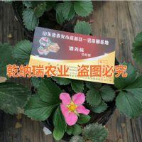 红花草莓苗价钱、银川红花草莓苗、乾纳瑞农业科技(在线咨询)