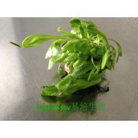 食虫植物-捕蝇草种苗 组培苗 无菌苗 增殖苗 趣味类