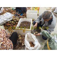 大果红花油茶苗供应信息 红花大果油茶苗成年树开花结实图片种植地址