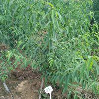 晚熟桃苗品种,齐鲁巨红桃苗价格