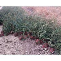 江苏火棘种植基地 1米以下火棘小苗价格真的便宜