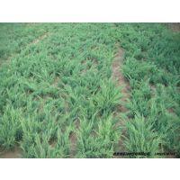 灌木沙地柏批发就找北京绿家