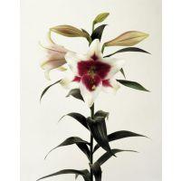 荷兰进口百合花种子种植