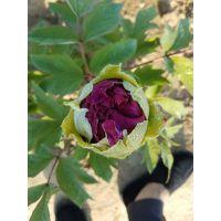 观赏牡丹种植、黑色系牡丹批发价格