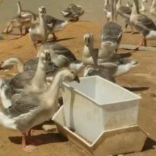 厂家专供抗腐蚀鸭料箱 白色鸭料箱
