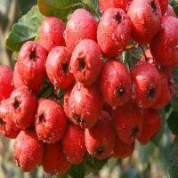 甜红籽山楂苗 甜红籽山楂苗的特点 哪里有甜红籽山楂苗
