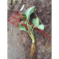 批发菠萝莓草莓苗 脱毒白草莓苗 大棚种植塞娃草莓苗