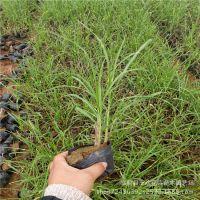 细叶芒 草花地被 山东青州供应水生植物细叶针芒 耐涝型观赏草