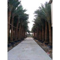 河南杆高4米中东海枣移栽苗,河南质量好的壮杆中东海枣