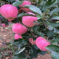 红富士苹果苗移栽