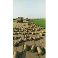 西安北郊草坪种植基地