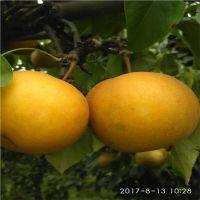 杜梨嫁接 黄金 黄冠 圆黄 秋月梨树苗 看苗订货 保湿快递