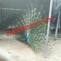 观赏孔雀哪里有卖的商品孔雀价格华旺特种养殖场