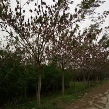 2018年米径6公分合欢树报价胸径5公分合欢价格多少钱一棵