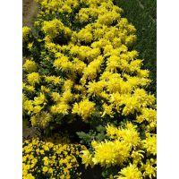 菊花种植基地菊花常见种类高档 批发采购基地一手供应