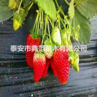 女峰草莓苗价格 女峰草莓苗 耐储早熟果实整齐