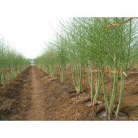 芦笋种子多少钱一斤,高产芦笋种子-蒙德欧
