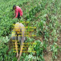 法兰地草莓苗运输