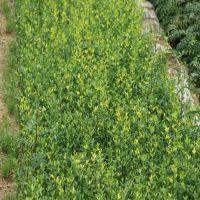 0.3公分枳壳树苗 0.4公分枸橘树苗 山东枳壳苗种植基地
