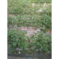 红颜草莓苗 草莓苗批发 二代脱毒草莓苗
