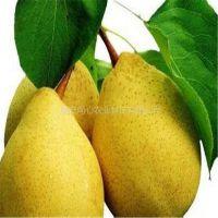 黄金梨树苗 玉露香梨树苗 红香酥梨树苗 品种纯正
