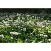 脱壳白三叶草种可以用在甘孜公路护坡吗
