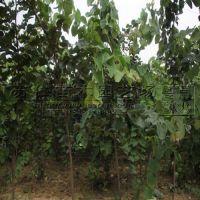 5公分粗度紫荆树苗价格参考
