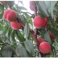 川岛桃树苗 1公分-3公分规格 颜色鲜艳 味道鲜美 成活率高 规格齐全 现挖现卖