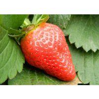 出售红颜草莓苗 品种纯正 保证成活率 脱毒红颜草莓苗