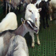 养羊塑料漏粪板 羊床厂家 羊用漏粪板厂家价格