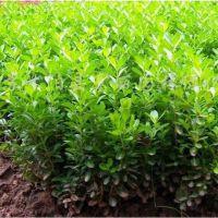 江苏黄杨种苗基地 热销10公分20公分30公分黄杨种苗(扦插苗)