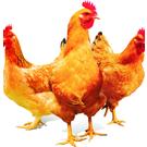 肉鸡催肥饲料添加剂,山东的我选了几个厂家的正在在实验中