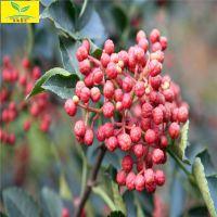 苗圃供应花椒苗,大红袍花椒苗供应 现挖现卖 品种好 颗粒大 质量优质