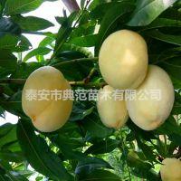 白如玉桃树苗价格 优质桃苗品种介绍基地批发
