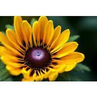 常见宿根花卉种类供应各种宿根花卉 成活率高的花海用花金光菊