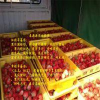 法兰地草莓苗看苗