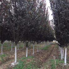2018年湖南地区地径8公分紫叶李价格多少钱一棵红叶李盆栽苗木基地