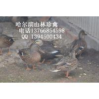 黑龙江野鸭养殖哈尔滨野鸭养殖齐齐哈尔野鸭养殖