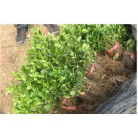 山东泰安0.5-5米冬青小苗 冬青球 冬青柱绿化苗销售中心
