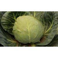 供应河北时丰农业科技开发有限公司蔬菜种子洋白菜F3