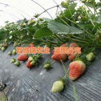 乾纳瑞农业科技(图),法兰地草莓苗价格,江津法兰地草莓苗