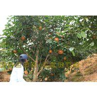 广西藤县大果红花油茶树苗多少钱一株 产量怎么样基地在哪里