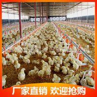 料线全自动养鸡设备 喂料喂水系统 青州诺德 肉鸡养鸡料线