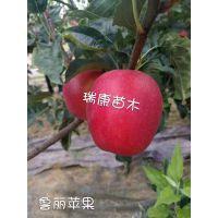 泰安开发区瑞康苗木园艺场供应鲁丽苹果树苗