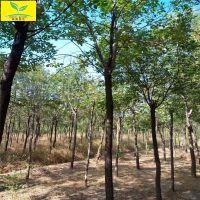 3公分香花槐树 地径4-15公分规格 绿化名贵树种 规格齐全 本地货源