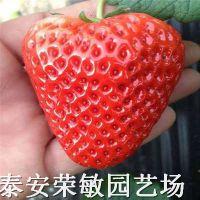 【妙香7号草莓苗品种妙香7号草莓苗价格 】