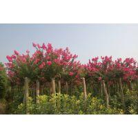 5公分紫薇树***新价格 苏北苗木基地报价