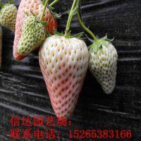 两年法兰地草莓小苗
